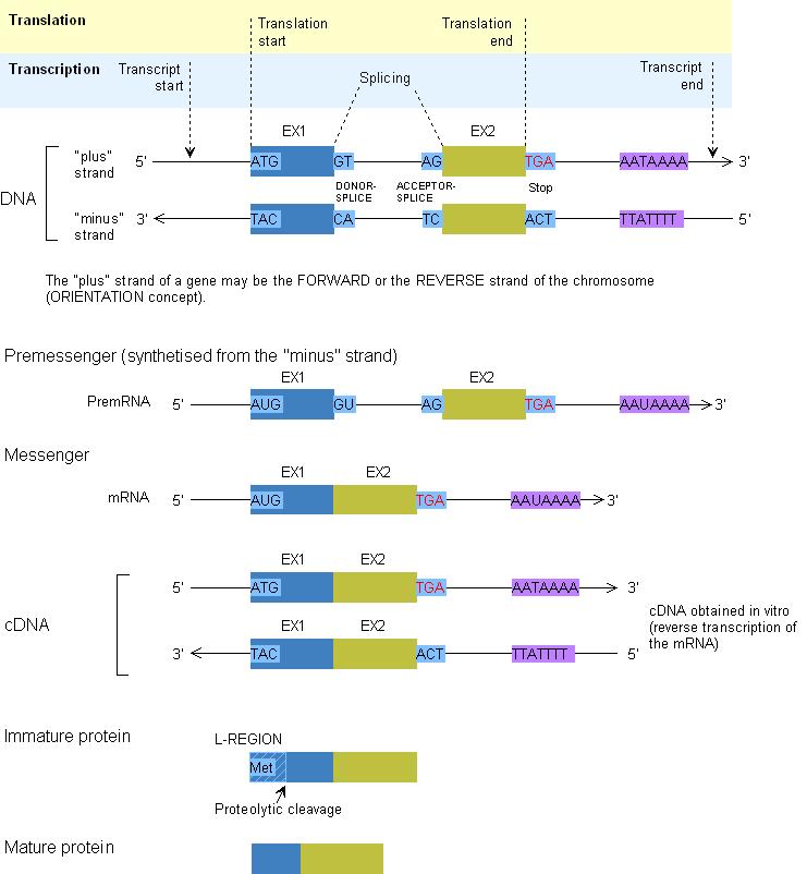 transcription_translation